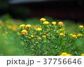 紅花 ベニバナ 花の写真 37756646