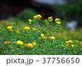 紅花 ベニバナ 花の写真 37756650