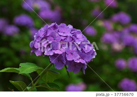 アジサイの花 37756670