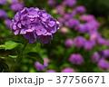 アジサイ 紫陽花 花の写真 37756671