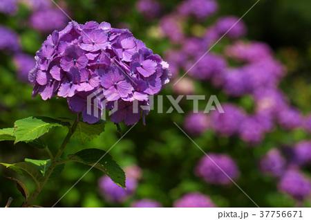 アジサイの花 37756671