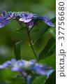 アジサイ 紫陽花 梅雨の写真 37756680