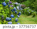 アジサイ 紫陽花 野見金公園の写真 37756737