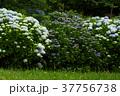 アジサイ 紫陽花 野見金公園の写真 37756738