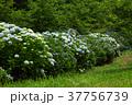 アジサイ 紫陽花 野見金公園の写真 37756739