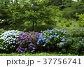 アジサイ 紫陽花 野見金公園の写真 37756741