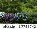 アジサイ 紫陽花 野見金公園の写真 37756742