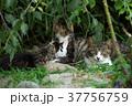 猫 子猫 家族の写真 37756759