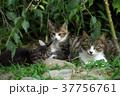 猫 子猫 家族の写真 37756761