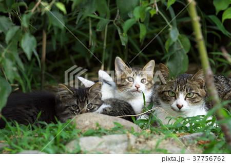 猫の親子 37756762