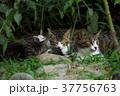 猫 子猫 家族の写真 37756763