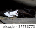 猫 子猫 家族の写真 37756773