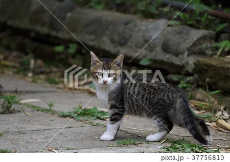 子猫 37756810