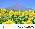 富士山 青空 花畑の写真 37758029