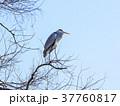 鷺 青空 鳥の写真 37760817