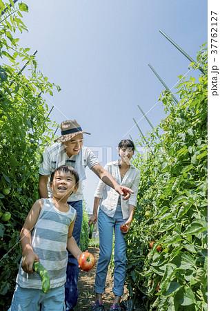 畑で両親と野菜を収穫する男の子 37762127