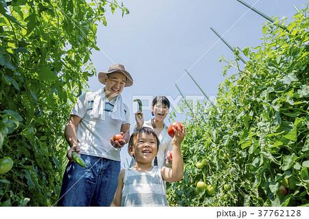 畑で両親と野菜を収穫する男の子 37762128