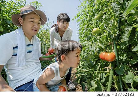 畑で両親と野菜を収穫する男の子 37762132