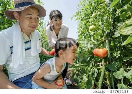 畑で両親と野菜を収穫する男の子 37762133