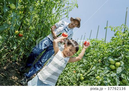 畑で両親と野菜を収穫する男の子 37762136