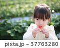 苺狩り (子供 幼児 女性 イチゴ いちご 苺 フルーツ 果物 レジャー ビニールハウス デザート) 37763280
