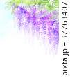 藤 花 植物のイラスト 37763407