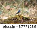 ルリビタキ 野鳥 小鳥の写真 37771236