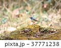 ルリビタキ 野鳥 小鳥の写真 37771238