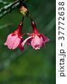 桜 さくら サクラの写真 37772638