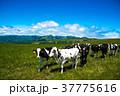 牧場 北海道 放牧の写真 37775616