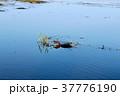 泳ぐワニ 37776190