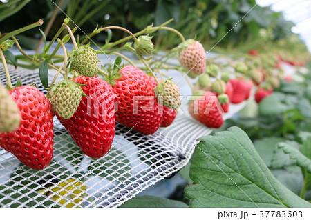 ハウスで栽培されているイチゴ 37783603
