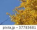 イチョウ 銀杏 黄色の写真 37783681