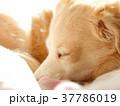 犬 寝る 戌年 2018 37786019