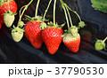 イチゴ狩り いちご イチゴの写真 37790530