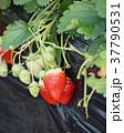 イチゴ狩り いちご イチゴの写真 37790531