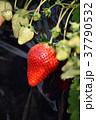 イチゴ狩り イチゴ 苺の写真 37790532
