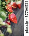 イチゴ狩り いちご イチゴの写真 37790533
