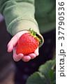 イチゴ狩り いちご イチゴの写真 37790536