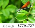 カワトンボ(無色翅型・オス) 37791727
