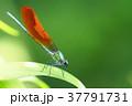 カワトンボ(橙色翅型・オス) 37791731