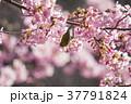 桜 目白 花の写真 37791824