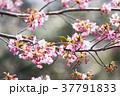 桜とメジロ 37791833