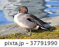 鴨 オナガガモ 池の写真 37791990