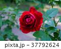 ばら バラ 薔薇の写真 37792624