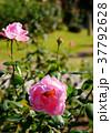 ばら バラ 薔薇の写真 37792628