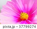 コスモス 花 ピンクの写真 37799274