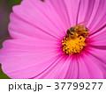 コスモス 花 ピンクの写真 37799277