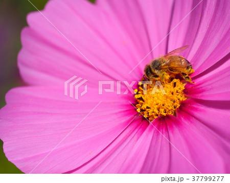 ミツバチとコスモス 37799277