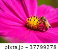 コスモス 花 ピンクの写真 37799278